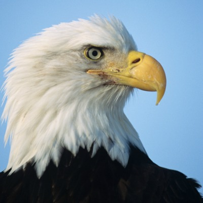 11846_bald_eagle Hypocrisy Over Bald Eagle Protection From Wind Turbines Begins At The Federal Level