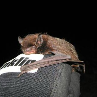 11948_silver-haired_bat They're Here! BOEM Report Corroborates Belief That Bats Frequent Offshore Environment