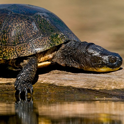 14151_blandingsturtle2 Ontario Court Of Appeals Reverses Environmental Review Tribunal Decision