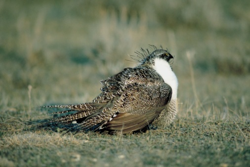 FWS: The Greater Sage Grouse Does Not Require Endangered Species Act Protection