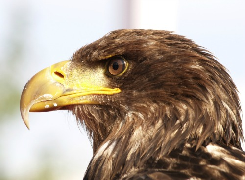 14784_golden_eagle_3 Developer Shuts Down Old Turbines Amid Worries Of Bird Deaths