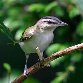 9354_red-eyed_vireo Research Reveals How Birds And Wind Turbines Can Safely Coexist