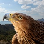 Feds Officially Cut Back Period For Wind Farm Eagle Take Permits