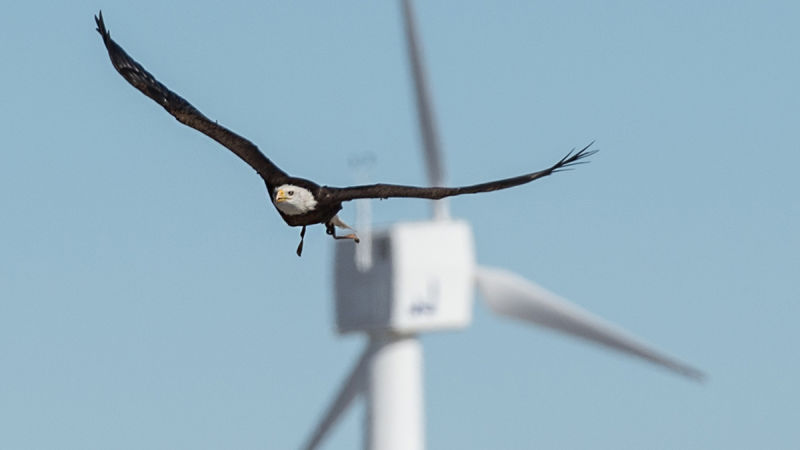 nrel-eagles Eagles Used To Test Methods Of Preventing Bird And Turbine Collisions