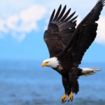American Bird Conservancy Examines FWS' Final Eagle Rule PEIS