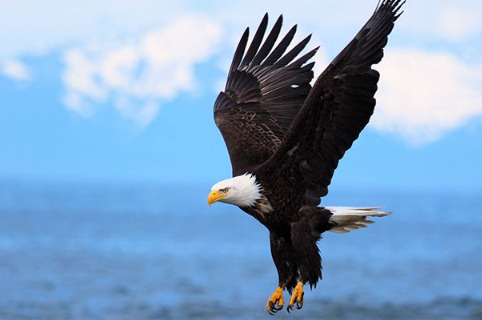 eagle American Bird Conservancy Examines FWS' Final Eagle Rule PEIS