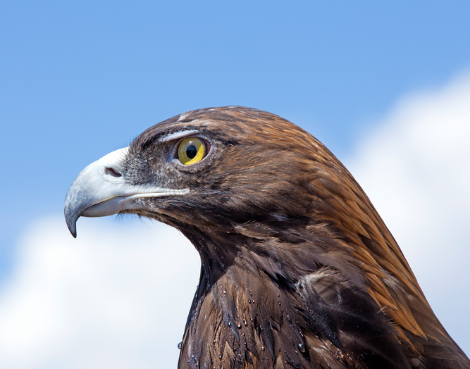 iStock-606677060 Feds Release Long-Anticipated Final Rule For Eagle Take Permits