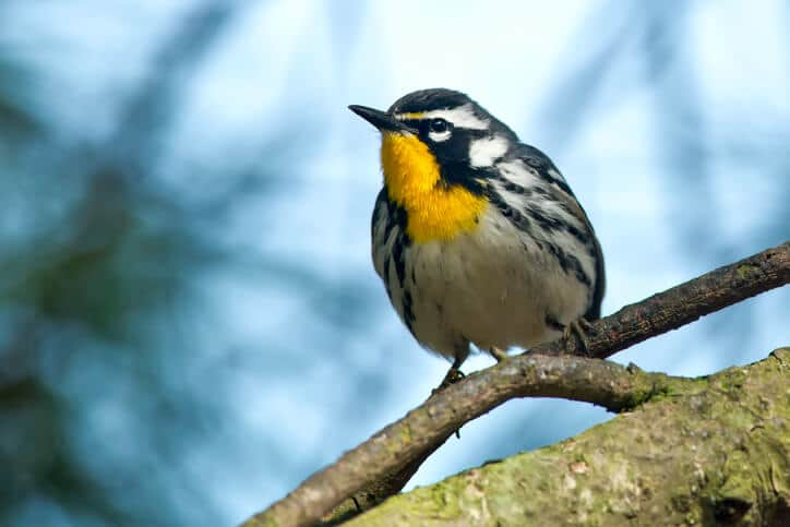 warbler-bird Bird Groups File Suit Against Lake Erie Wind Turbine