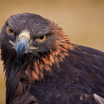 Federally Funded Project Seeks To Deter Eagles From Wind Turbines