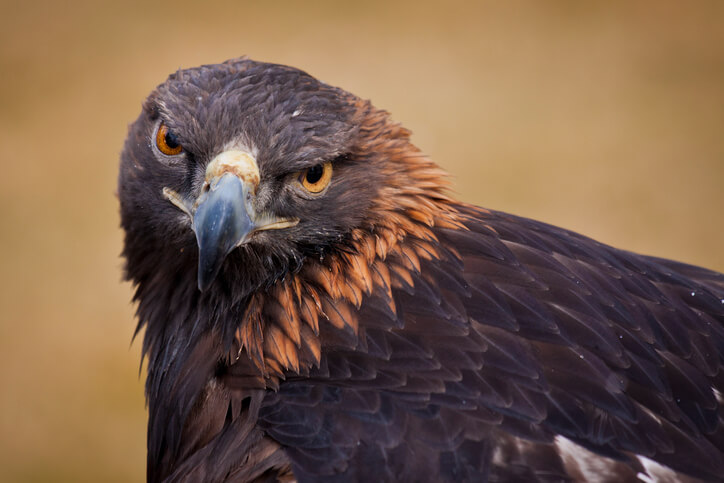 golden-eagle Federally Funded Project Seeks To Deter Eagles From Wind Turbines