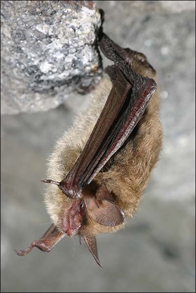 14088_long-eared FWS Adds Northern Long-Eared Bat To Endangered Species List