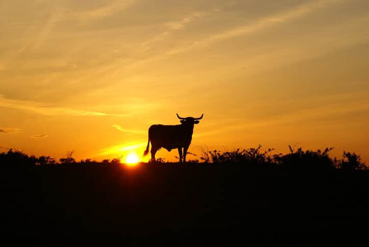 Sunset with Longhorn steer